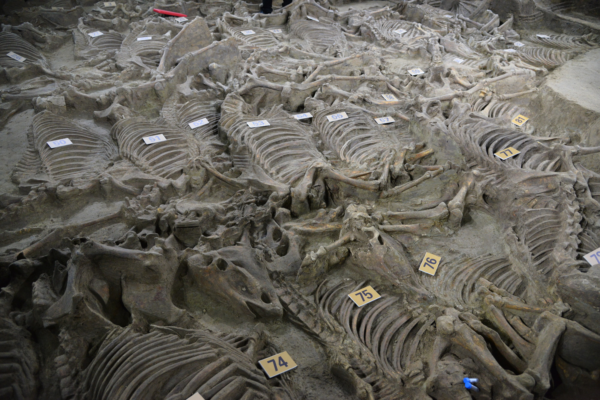 Skeletons of horses found by archaeologists