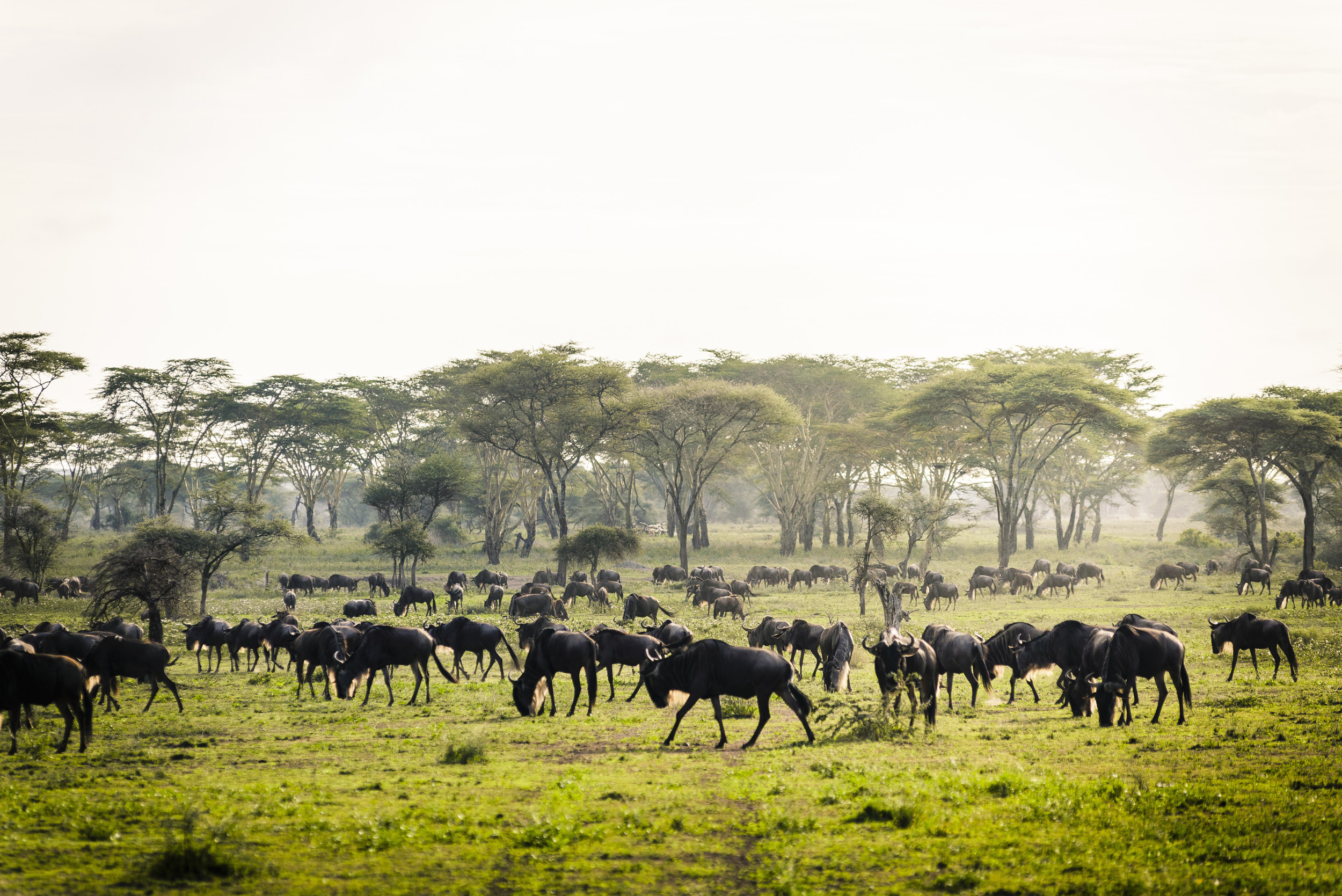 The experience sees guests tracking wildebeest and zebra as they make their annual migration across the Serengeti.