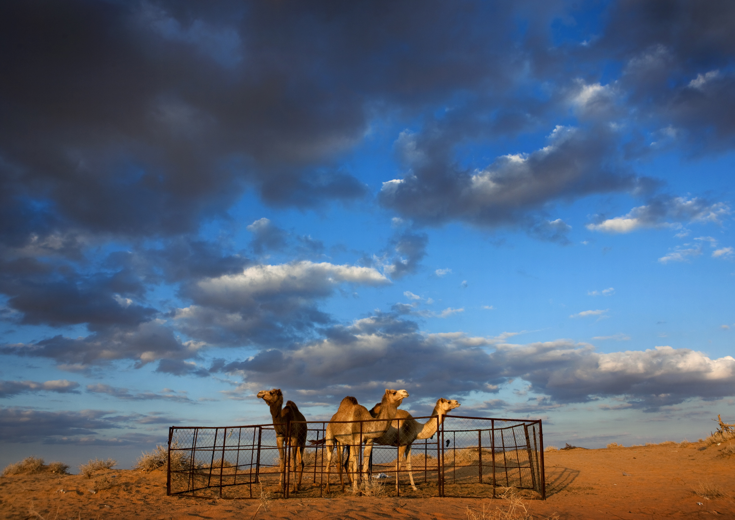 Owning and breeding camels is a good livelihood for farmers in Saudi Arabia.