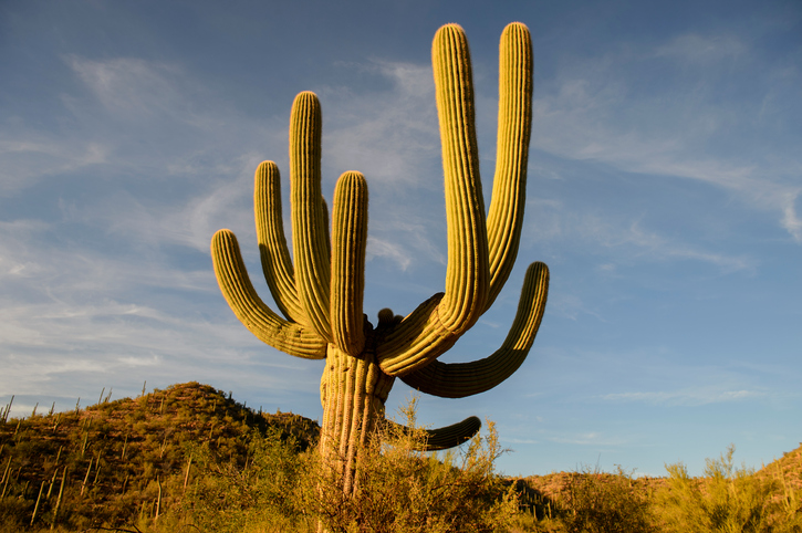 Cactus at Saguaro National Park, Arizna, USA