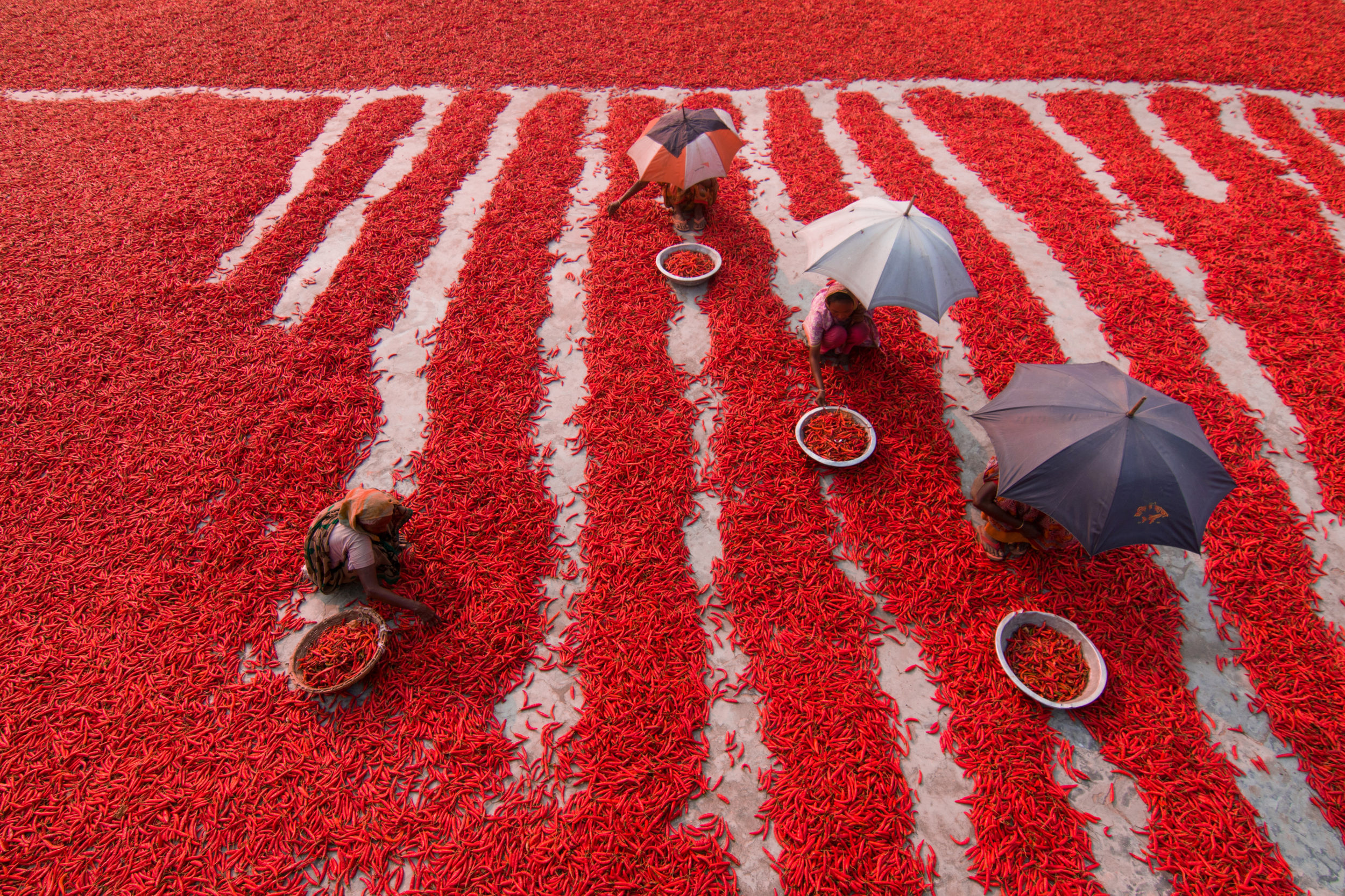 """Red Chili Pepper Pickers"". Countless chili peppers surround laborers in the Bogra district in the north of Bangladesh."