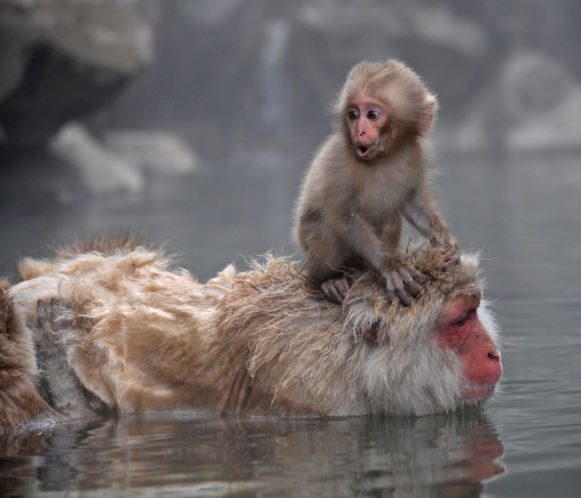 Baby snow monkey and mother bathing