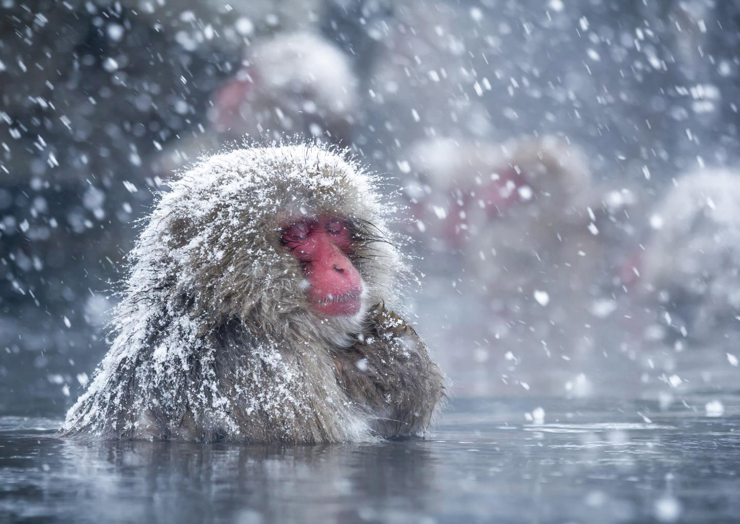 Sccientists discover why snow monkeys like hot baths