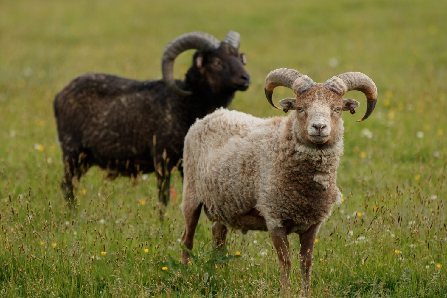 A black and a white North Ronaldsay or Orkney sheep.