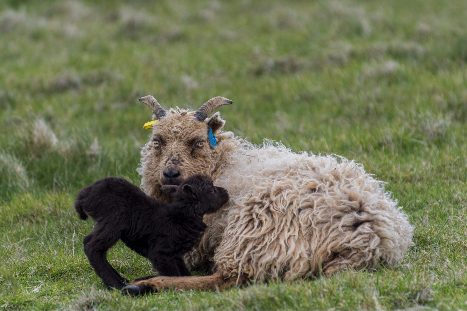 A sheep and lamb on North Ronaldsay in the Orkney Islands